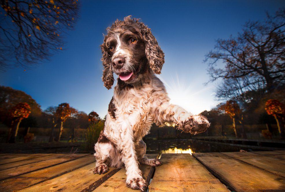 Moos is een engelse springer gefotografeerd in zijn tuin in Santpoort.