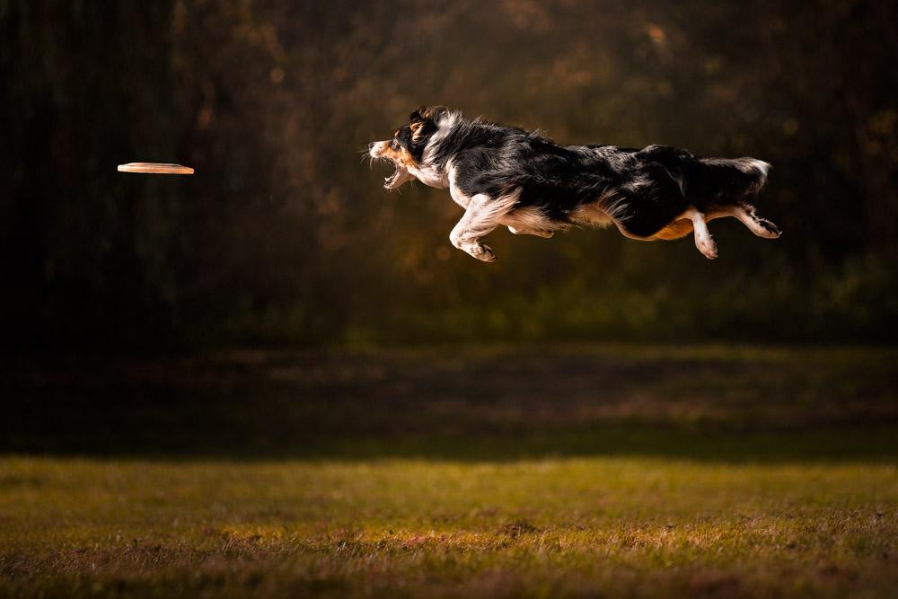 Dogs in Action ,flying dogs in een Workshop van Claudio Picolli. Veel geleerd tijdens deze cursus van Claudio met top hondenmodellen.