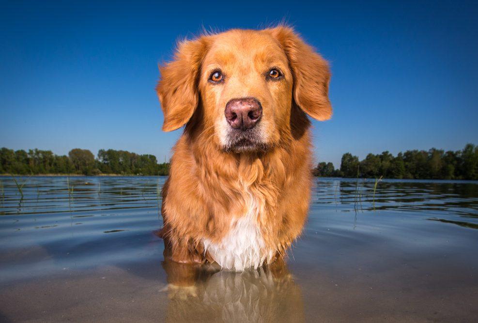 Mick is een 13 jaar oude Toller retriever, foto's gemaakt in Hoofddorp in het water