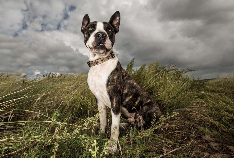 Monty , pitbull uit het zandvoortse asiel