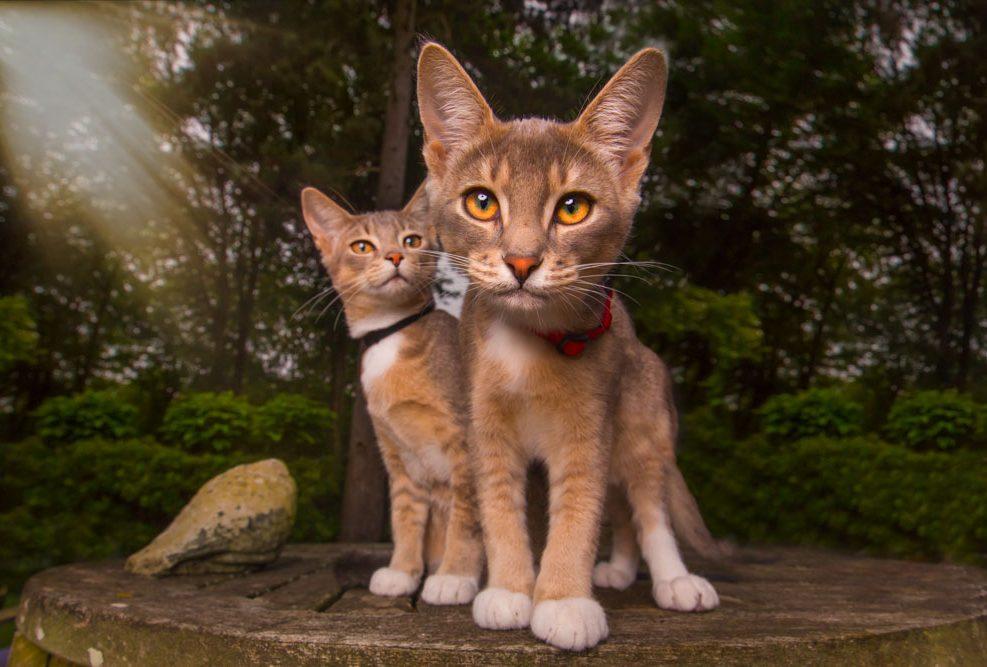 Pepe en Levi zijn twee abesijnse mix kittens gefotografeerd in een tuin in Bloemendaal.