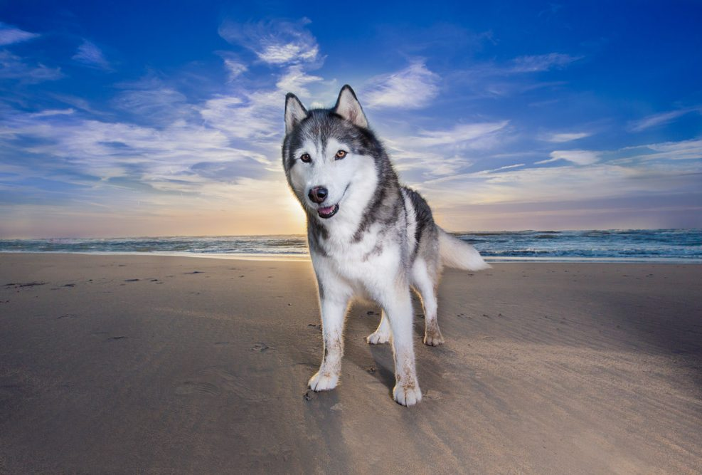 Yilco is een husky van 12 jaar oud gefotografeerd door Perfect Pets in Bloemendaal.
