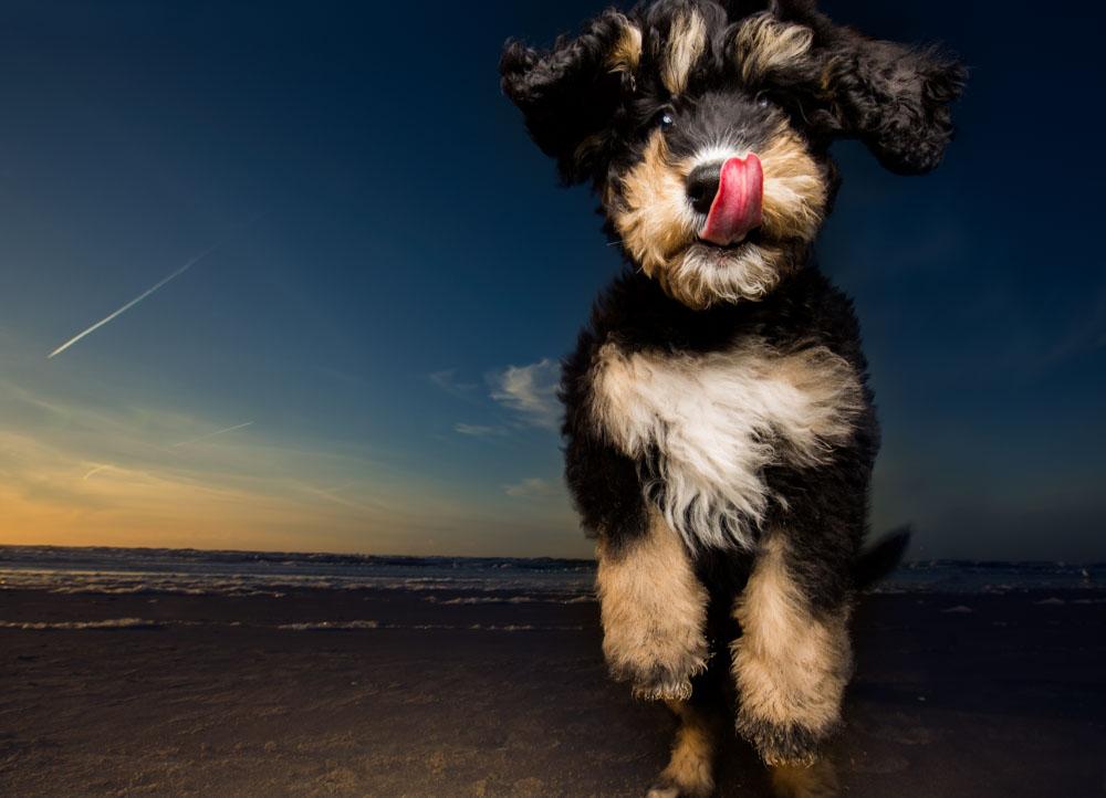 bernerpoodle puppy bij sunset in Bloemendaal