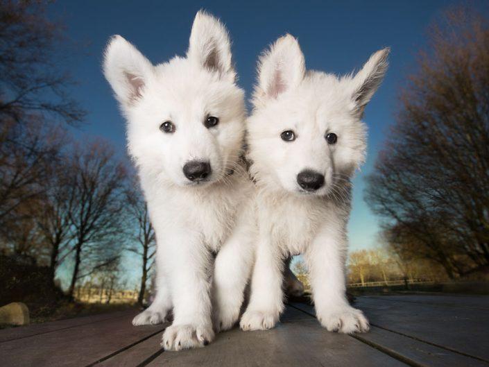 Zwitserse Herder Puppies